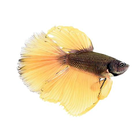 Bumblebee Betta