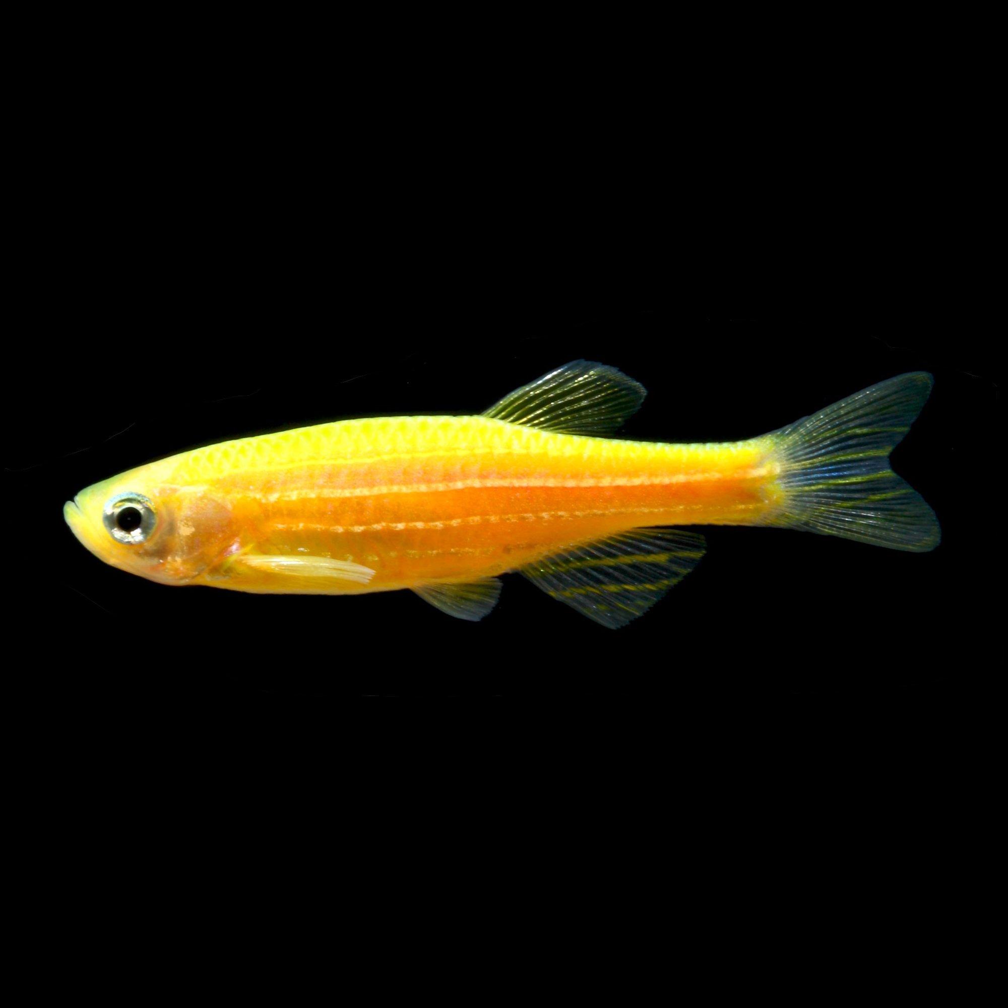Glofish sunburst orange danio petco for Petco fish for sale