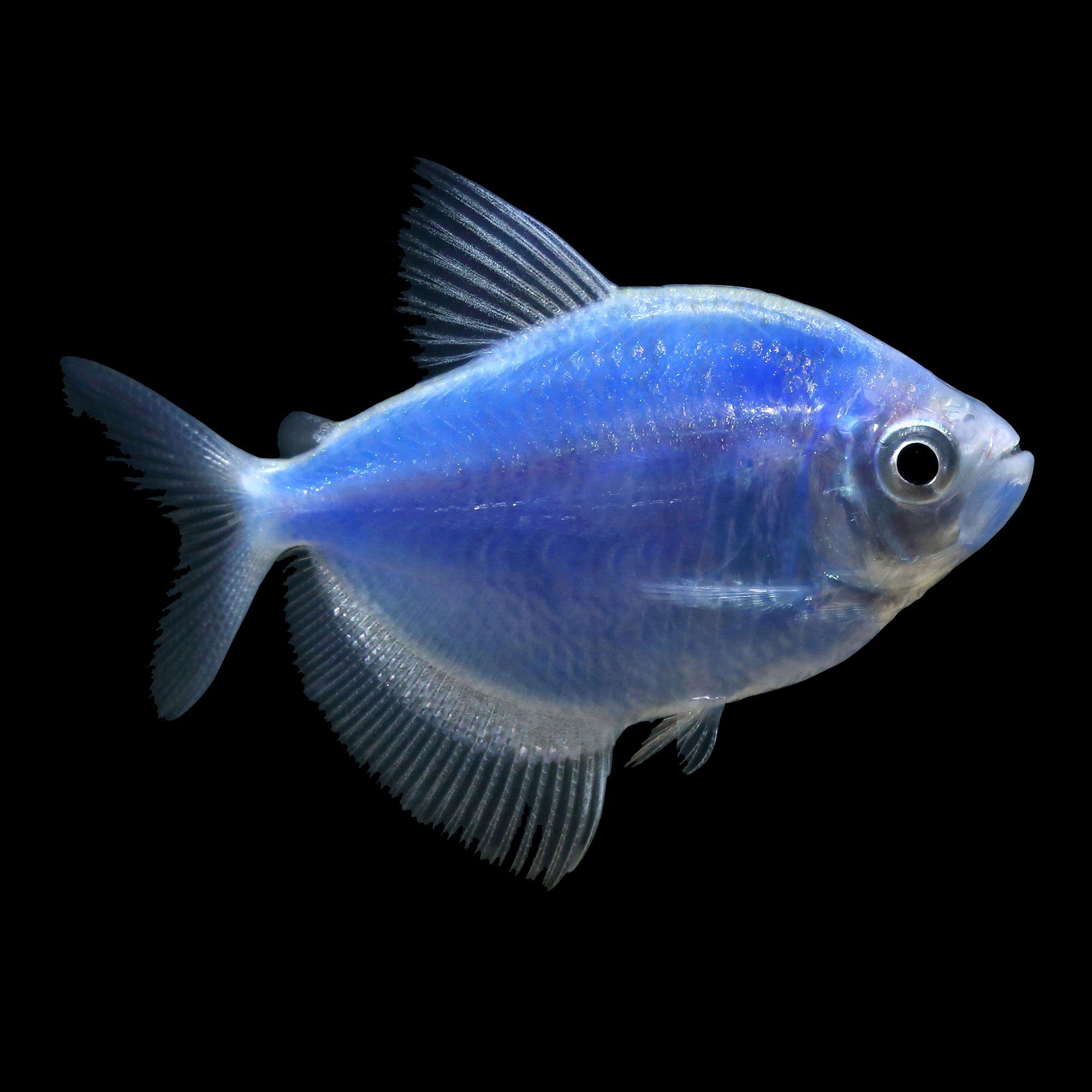 Glofish Cosmic Blue Tetra Petco