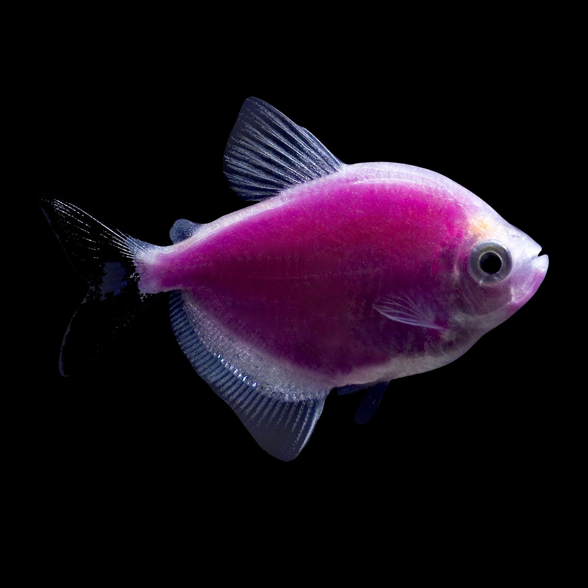Glofish galactic purple tetra petco for Petco fish prices