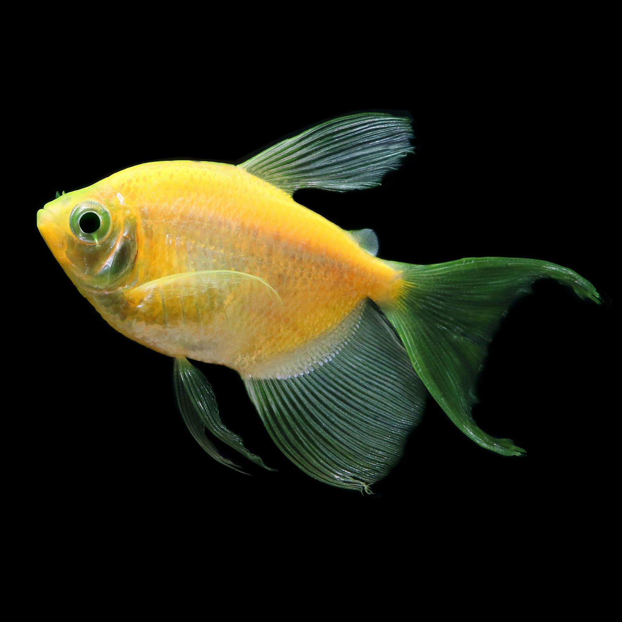 Glofish sunburst orange longfin tetra petco for Fish at petco