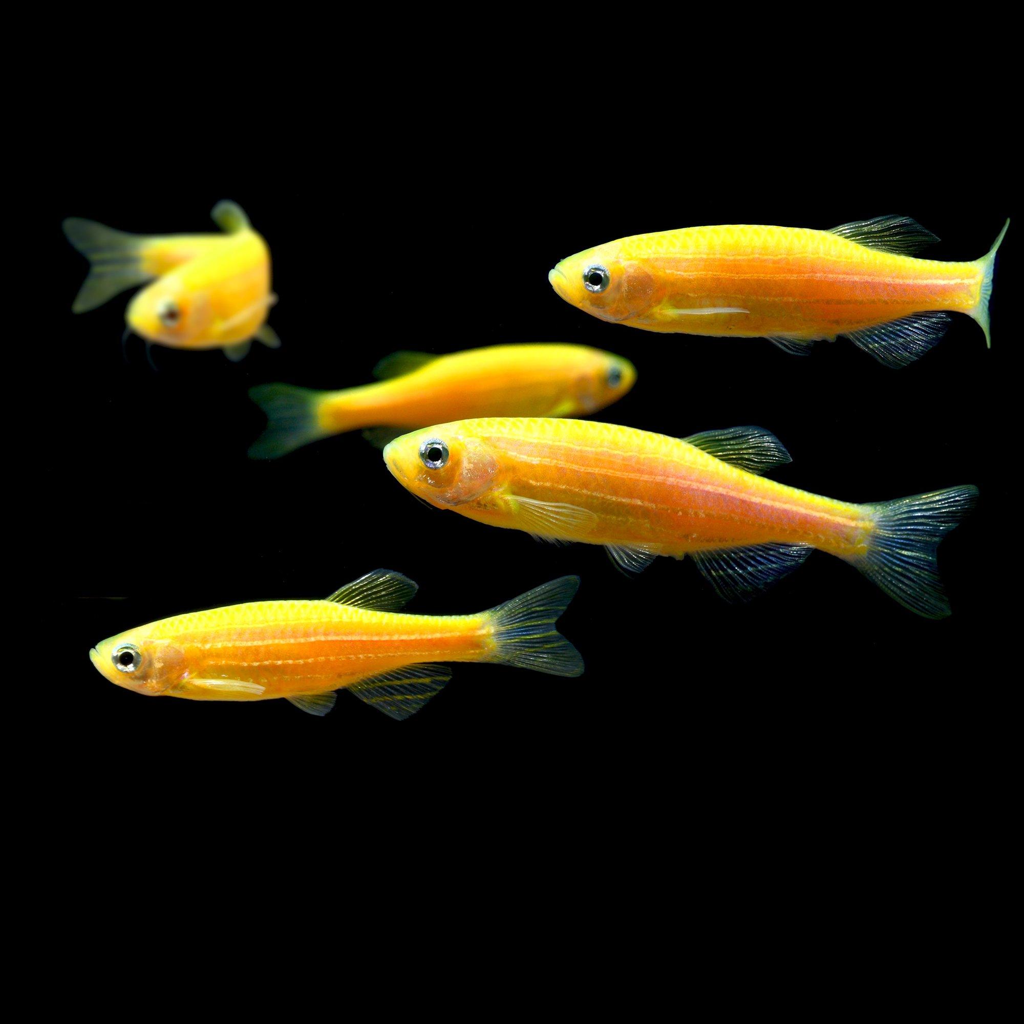 Glofish 5 pack sunburst orange danio petco for Petco fish prices