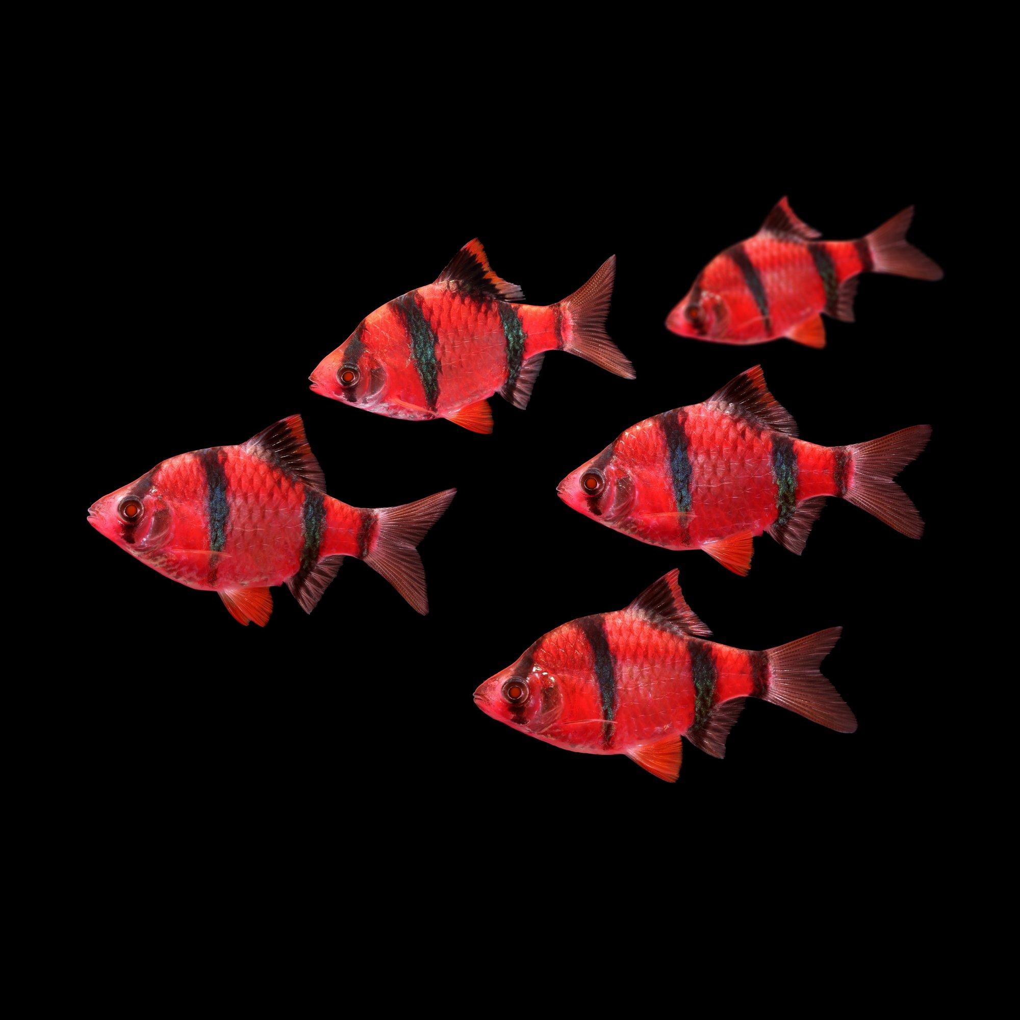 5-Pack Starfire Red Barb GloFish   Petco