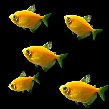 GloFish - 5-Pack Sunburst Orange Tetra