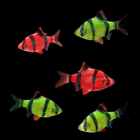 GloFish Assorted Barb