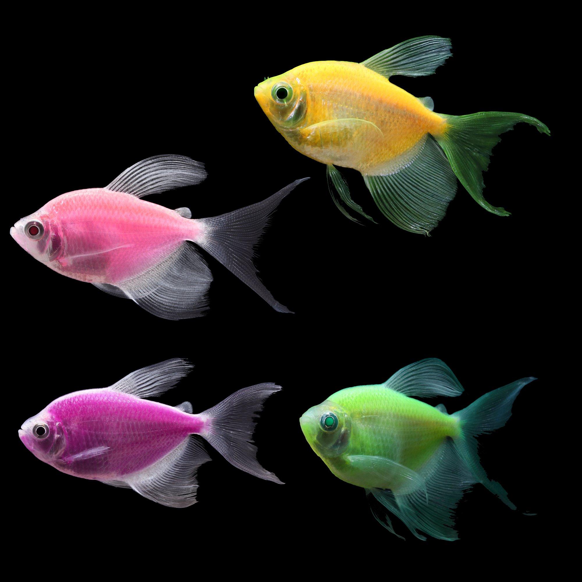 Glofish 5 pack assorted longfin tetra gymnocorymbus sp for Danio fish care