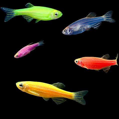 5-Pack Assorted Danio GloFish