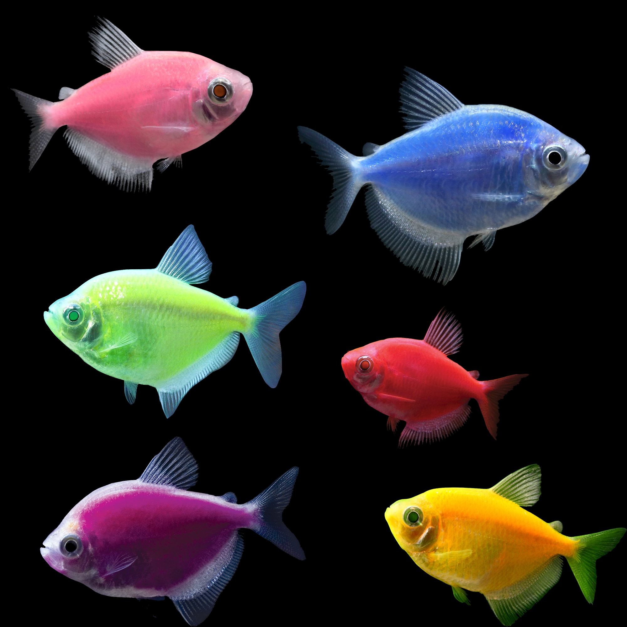 Glofish 5 pack assorted tetra petco for Glo tetra fish