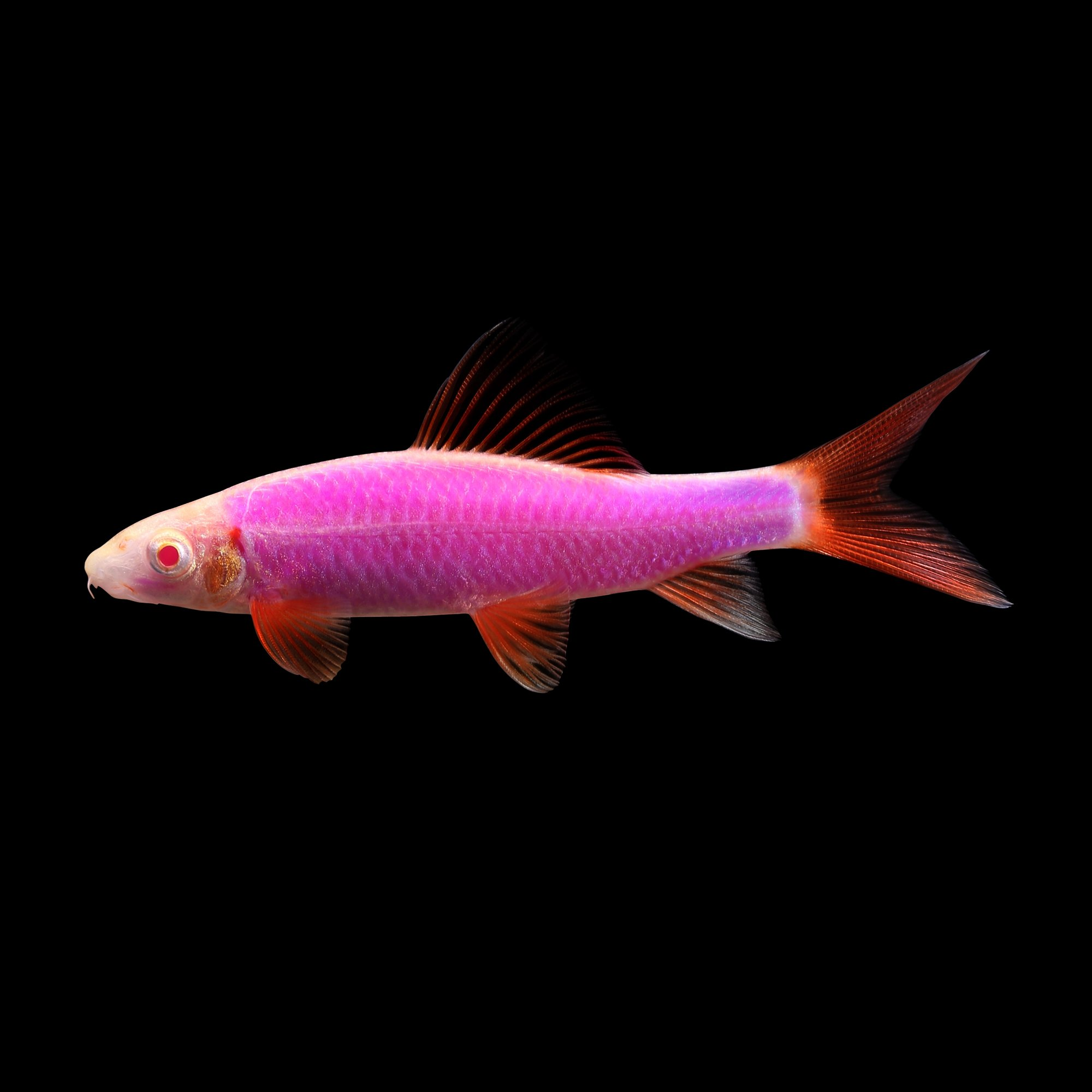 GloFish Galactic Purple Shark | Petco | Tuggl