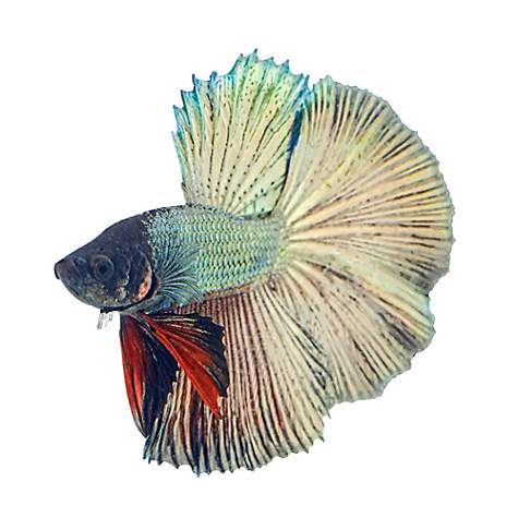 Male Copper Betta