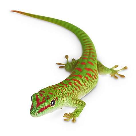 Giant Day Gecko (Phelsuma sp ) | Petco