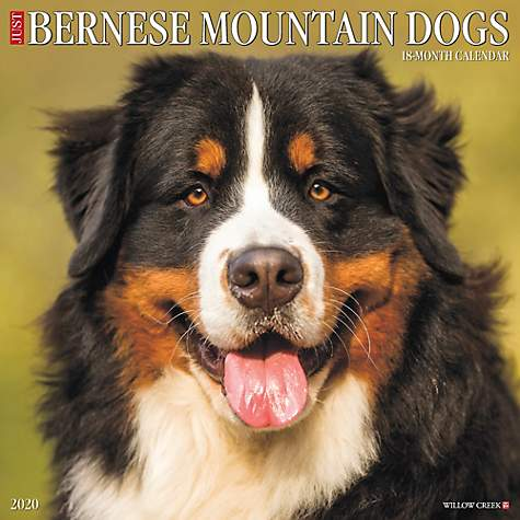 Willow Creek Press Bernese Mountain Dogs 2020 Wall Calendar