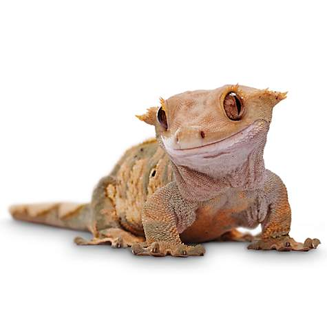 Crested Gecko Petco