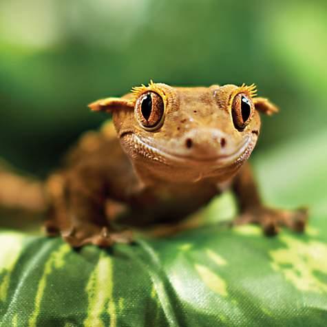 Crested Gecko | Petco