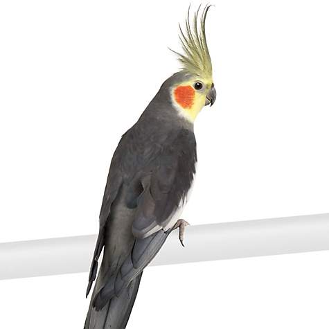Cockatiels for Sale | Cockatiel Birds for Sale | Petco