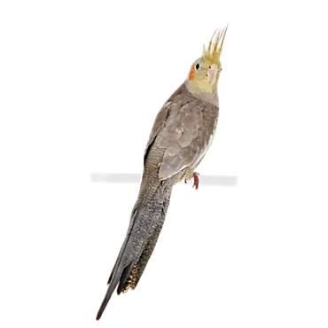 Cockatiels for Sale | Cockatiel Birds for Sale | Petco