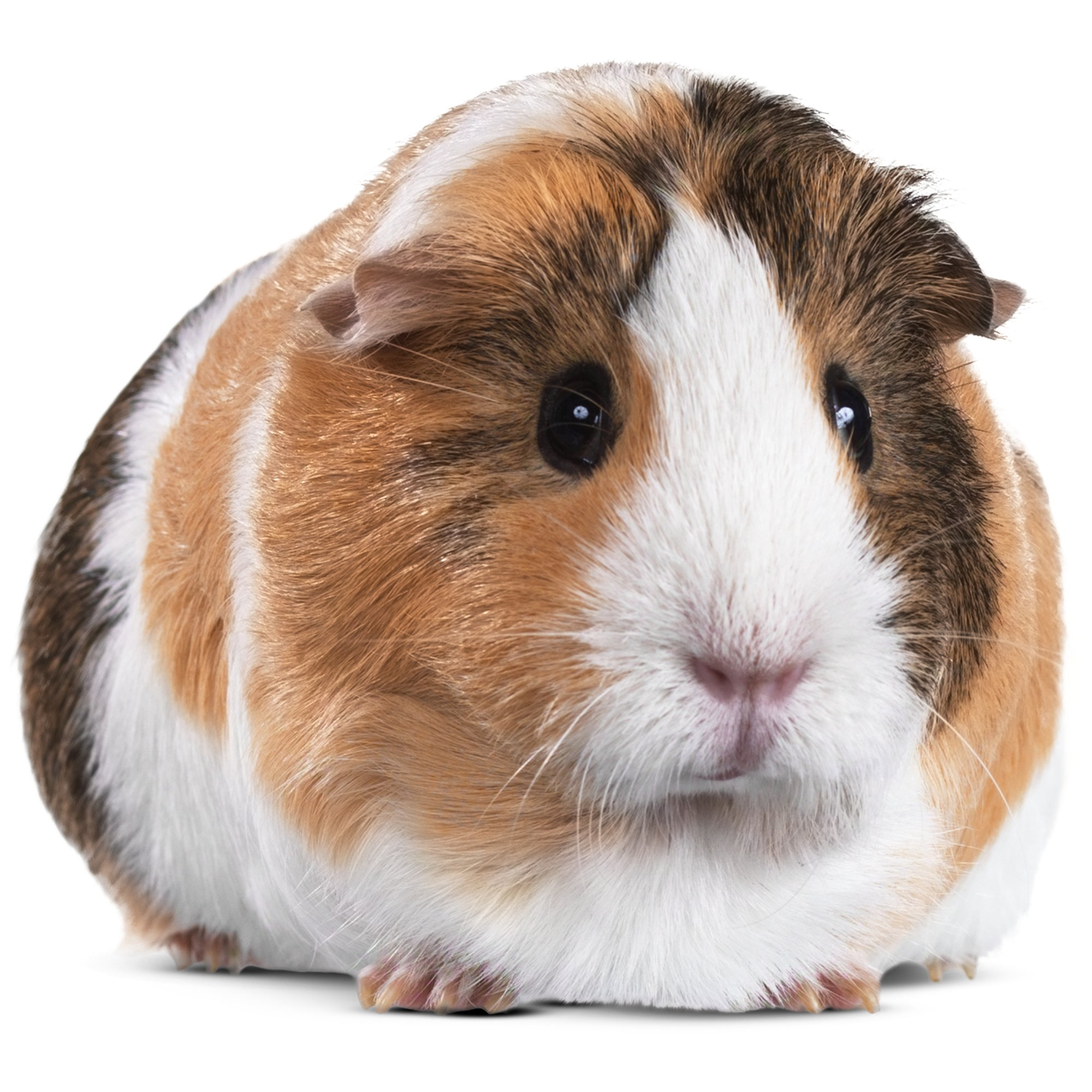 Image result for guinea pigs