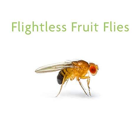 Flightless Fruit Flies- D  hydei - 4 Pack