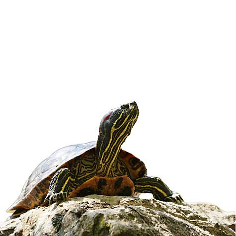 Red Eared Slider Turtles | Red Eared Slider for Sale | Petco
