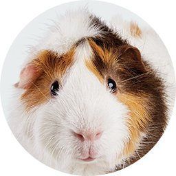 New Guinea Pig Guide